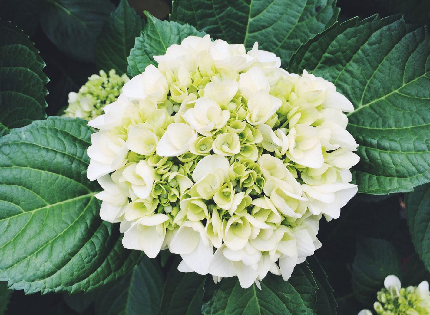 写真:白い紫陽花